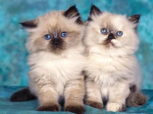 twin-cat
